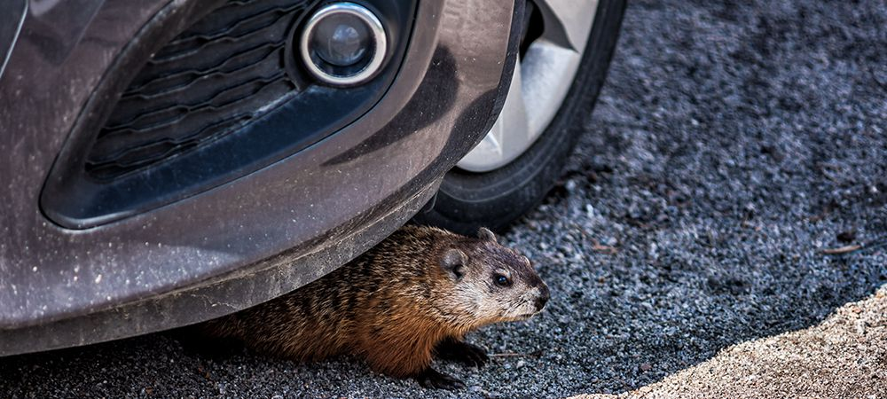 Rodent hiding under car