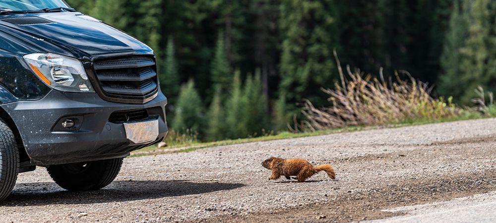 rodent runing toward car