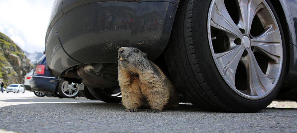 rodents damage car